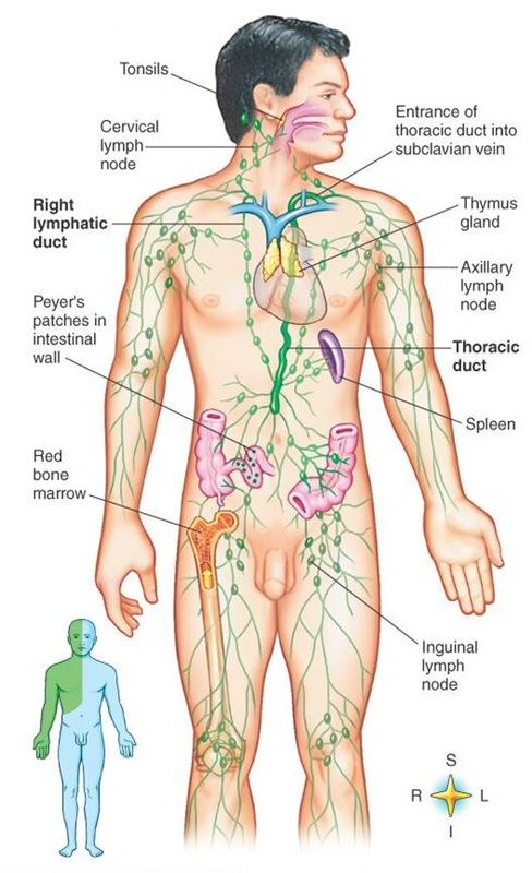Anatomy - Immune & Lymphatic System